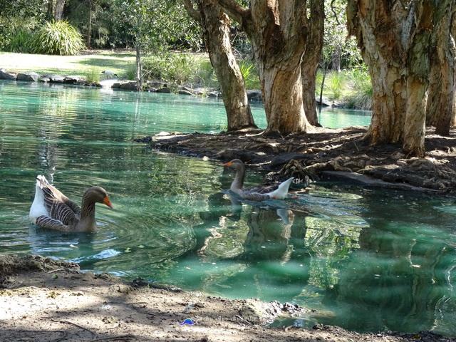 Japanese Garden A swan