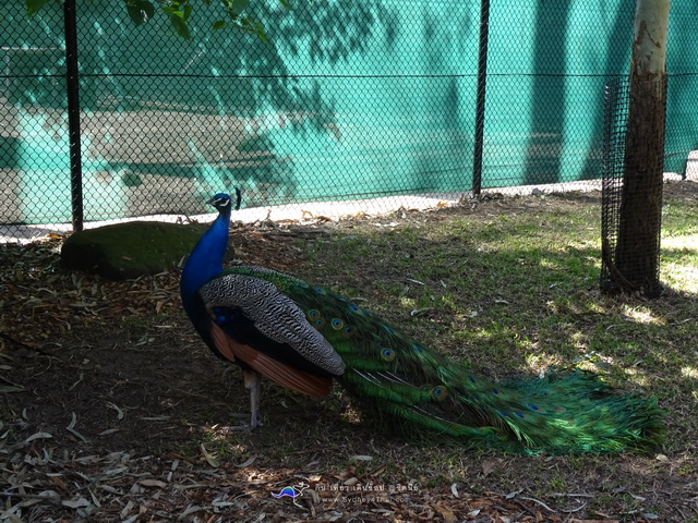Japanese Garden A peacock