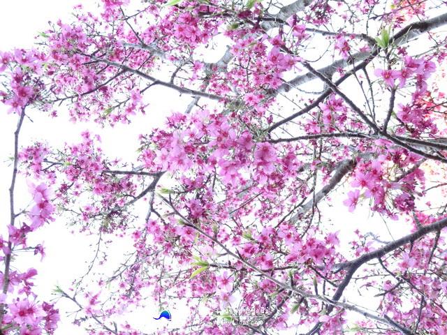 ดอกซากุระ ซิดนีย์