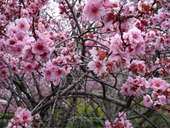ไปเที่ยว Sydney เดือนสิงหา พาชมดอกซากุระบาน @ Japaneses Garden