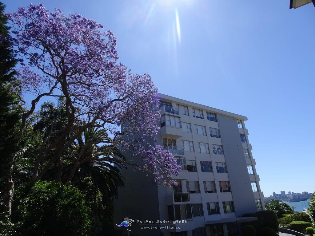 Jacaranda tree SYDNEY 001