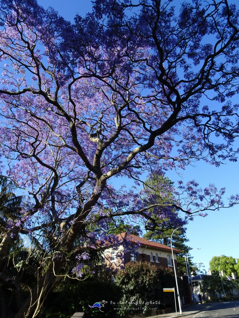 Beautiful Jacaranda tree Sydney Australia