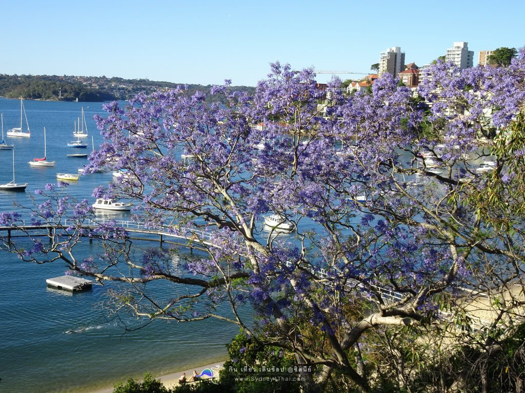 The best Jacaranda tree SYDNEY Australia Murray Rose Pool