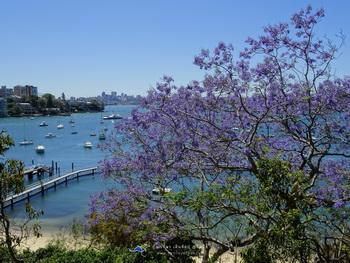 10 สถานที่ท่องเที่ยวซิดนีย์ ฤดูใบไม้ผลิ Jacaranda Murray Rose Pool, Double Bay