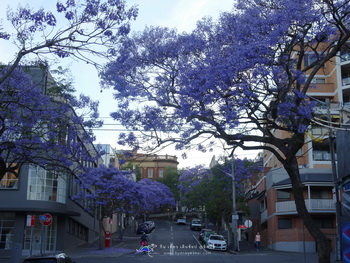10 สถานที่ท่องเที่ยวซิดนีย์ ฤดูใบไม้ผลิ Jacaranda