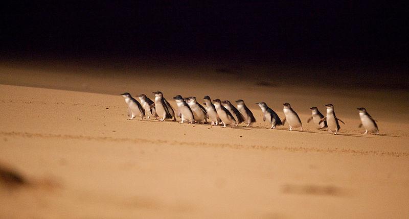 นกเพนกวินที่เล็กที่สุดในโลก ในเมลเบิร์น Melbourne