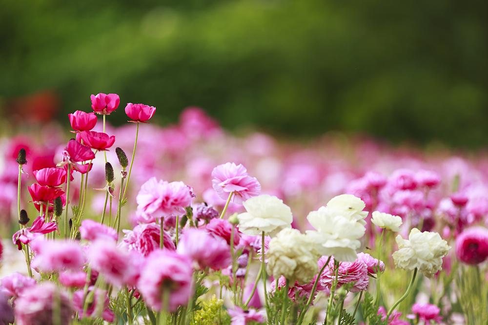 เทศกาลดอกไม้ Floriade Festival พาเที่ยว Canberra 003