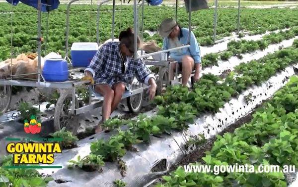 ฟาร์มออสเตรเลีย เมือง  Gowinta Farms