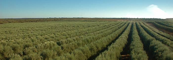 Cobram ฟาร์มออสเตรเลีย