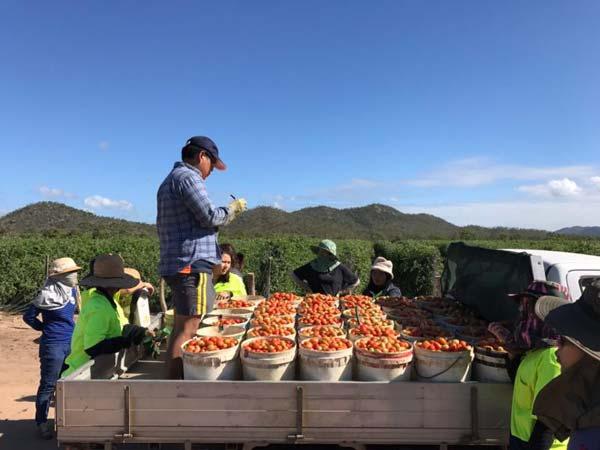 งานฟาร์ม เก็บมะเขอเทศ